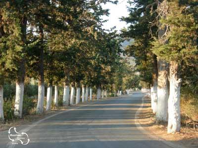 white tree trunks along the road on Crete