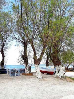 white tree trunks also along the beaches