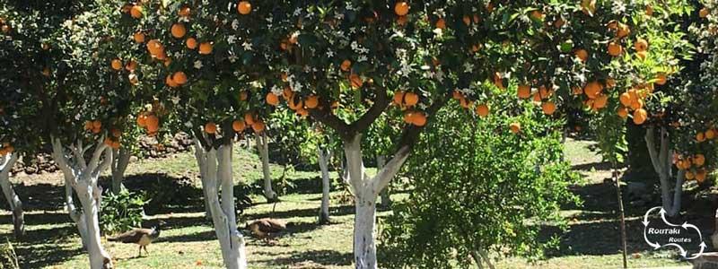 white tree trunks, also on the orange trees